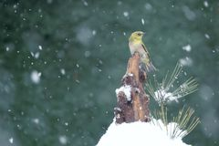 Bird in snow royalty free stock image