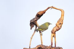 Japanese White-eye and tree-root carving. A Japanese White-eye stands on tree-root carving. Scientific name: Zosterops japonicus stock photos
