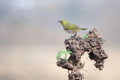 Japanese White-eye. A Japanese White-eye stands on tree root. Scientific name: Zosterops japonicus stock image