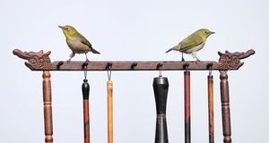 Japanese White-eye. Two Japanese White-eye stand on Chinese brush holder. Scientific name: Zosterops japonicus stock photography