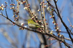 Japanese White-eye Royalty Free Stock Images