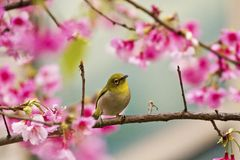 Free Japanese White-eye With Pink Cherry Blossoms Royalty Free Stock Image - 29384716