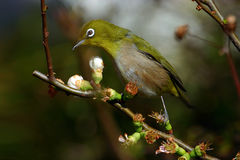 Japanese white-eye Zosterops japonicus Royalty Free Stock Photo