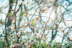 Japanese White-eye Zosterops japonicus on Cherry Blossom and s Royalty Free Stock Photo