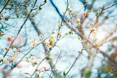 Japanese White-eye Zosterops japonicus on Cherry Blossom and s Royalty Free Stock Photography