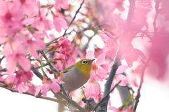 Japanese white-eye. A Japanese white-eye ( Zosterops japonicus ) on cherry blossoms tree royalty free stock images