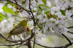 Japanese white eye (Zosterops japonicus) Royalty Free Stock Photo