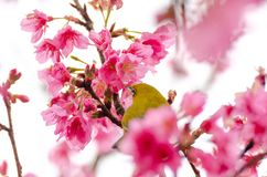 Japanese white eyes with pink flowers of Sakura. Japanese White-eye, Zosterops japonicus on tree branch for eating nectar from pink cherry blossom royalty free stock images