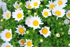 Japanese white flowers during spring Royalty Free Stock Images