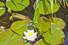 Japanese white lotus water lily Stock Photos
