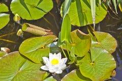 Japanese white lotus water lily Stock Photos