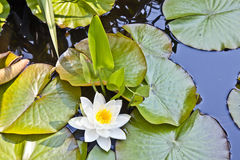 Japanese white lotus water lily Royalty Free Stock Photo