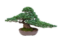 Japanese white pine bonsai tree isolated Stock Photo