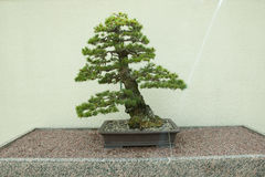 Japanese White Pine Bonsai Tree Royalty Free Stock Image