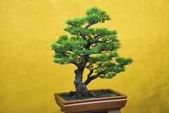Japanese White Pine tree, Bonsai Exhibition Pune Shivajinagar, Pune, Maharashtra. India royalty free stock images