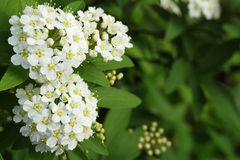 Japanese white spirea flower and bud. In green Stock Images