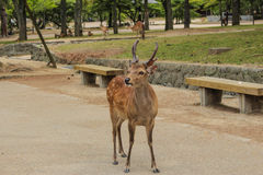 Japanese Wild Deer. In park Royalty Free Stock Photography