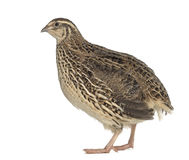 Japanese Wild Quail isolated on white. Japanese Wild Quail stand up and isolated on white Royalty Free Stock Images