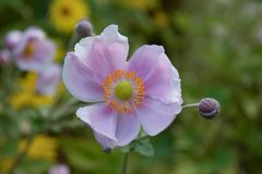 Japanese windflower that blooms late Summer to Fall Stock Images