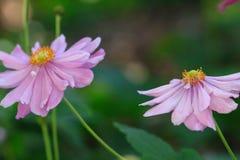 Japanese Windflowers  pink Stock Photo