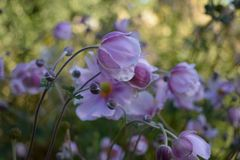 Japanese windflowers plant perennials Royalty Free Stock Images