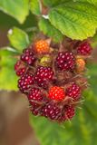 Japanese wineberry (Rubus phoenicolasius) fruits Royalty Free Stock Images