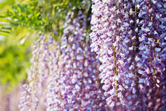 Japanese wisteria blossom Stock Images