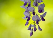 Japanese Wisteria Royalty Free Stock Image