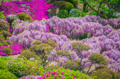 Japanese wisteria festival during spring time Stock Images