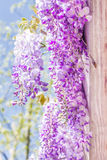 Japanese wisteria flowers. Stock Photos