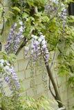 Japanese Wisteria wisteria floribunda. In garden royalty free stock images