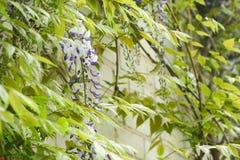 Japanese Wisteria wisteria floribunda. In garden stock images