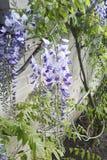 Japanese Wisteria wisteria floribunda. In garden royalty free stock image