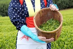 Japanese woman harvesting tea leaves Royalty Free Stock Photos
