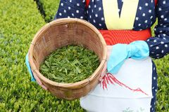 Japanese woman harvesting tea leaves Royalty Free Stock Images