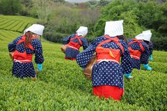 Japanese woman harvesting tea leaves Stock Images