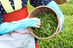 Japanese woman harvesting tea leaves Royalty Free Stock Image