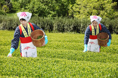 Japanese woman harvesting tea leaves. KAGAWA, JAPAN - APRIL 24, 2017: Young japanese women with traditional clothing kimono harvesting green tea leaves on Royalty Free Stock Photography