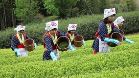 Japanese woman harvesting tea leaves. Mitoyo, Kagawa, Japan - April 17, Young japanese women with traditional clothing kimono harvesting green tea leaves on