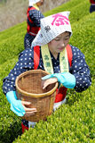 Japanese woman harvesting tea leaves Stock Photos
