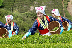 Japanese woman harvesting tea leaves Royalty Free Stock Photography