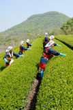 Japanese women harvesting tea leaves Royalty Free Stock Images