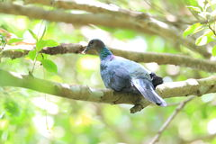 Japanese wood pigeon Royalty Free Stock Photos