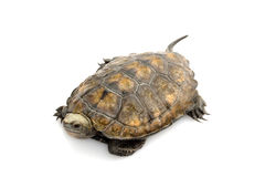 Japanese wood turtle Royalty Free Stock Photo