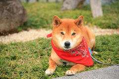 Japanese Yakuza Dog Stock Photography