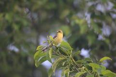 Japanese yellow bunting Stock Image