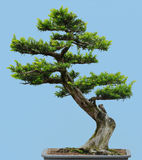 Japanese Yew bonsai. (Taxus cuspidata) isolated against blue background stock images