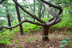 Japanese yew on the Petrov island. Royalty Free Stock Image