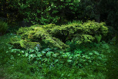 Japanese yew. Young. Spring composition Japanese garden Royalty Free Stock Photos