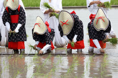 Japanese young girl planting rice Royalty Free Stock Image